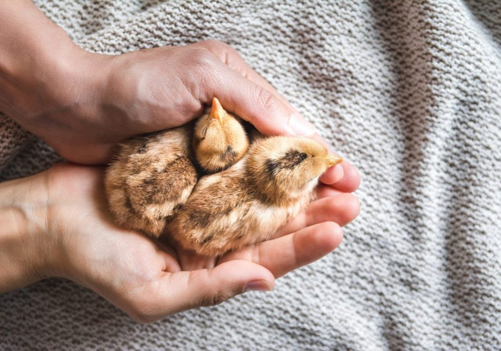 A top view of a person holding brown chicks on a cloth